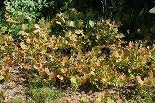 Quercus robur, Stieleiche, oak