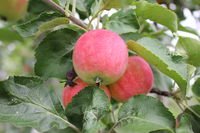Red ripe apples on branch 20512