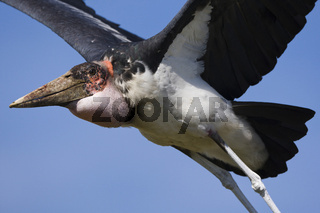 Marabu, (Leptoptilos crumeniferus), Marabou Stork