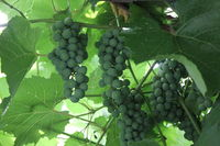 Grapes with green leaves 20541