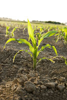 Young Corn plant