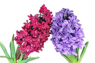 Two hyacinth