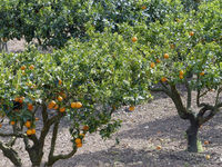 Orangenbaeume