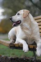 fröhlicher Labrador Retriever