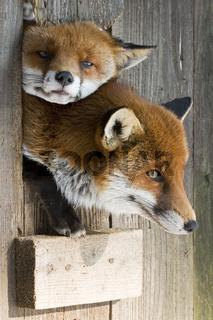 zwei Rotfuechse (Vulpes vulpes) quetschen sich durch ein kleine Lucke ihrer Unterkunft, Wildpark, two red (Vulpes vulpes) foxes looks around