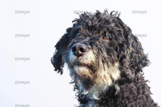 Farben Der Bolonkas Verbund Deutscher Bolonka Zuchter E V Vdbz Bolonka Bolonka Zwetna Bolonka Hund