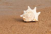 große Muschel liegt im Sand