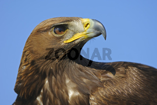 Steinadler, Portrait,  Aquila chrysaetos, Golden Eagle