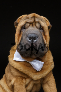 shar pei puppy with white bow tie