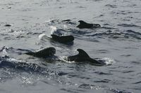 Pilotwalschule, Group of Pilotwhales