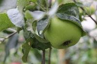 Green ripe apples on branch 20509