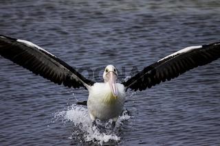 Australian pelican landing with spread wings in the sea, South Australia