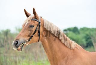 portrait of sportive chestnut  mare. funny shot