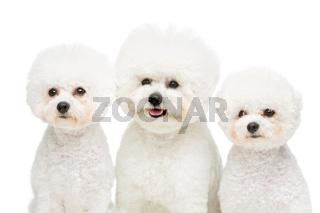 beautiful bichon frisee dogs