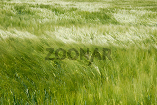 Kornfeld im Wind