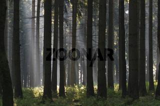 Lichtspot im Wald, Bayern, Deutschland, spot light in forest, bavaria, germany
