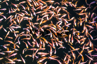 School of goldfishes, Madu Ganga, Sri Lanka