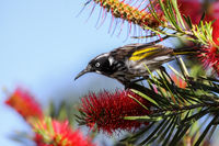 Close up of a New Holland honeyeater perching on a Banksia, Esperance, Western Australia