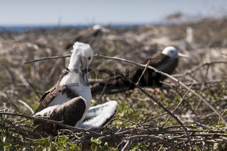 Bindenfregattvogel, Galapagos, Ecuador
