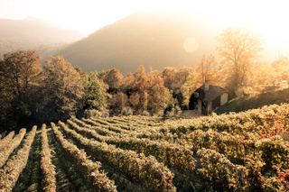 Rows of vine in a vineyard in ticino, switzerland at sunset