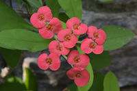 Christusdorn (Euphorbia milii) Vorkommen Afrika