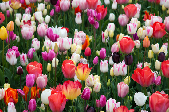 Blooming tulips in park. Netherlands, Europe