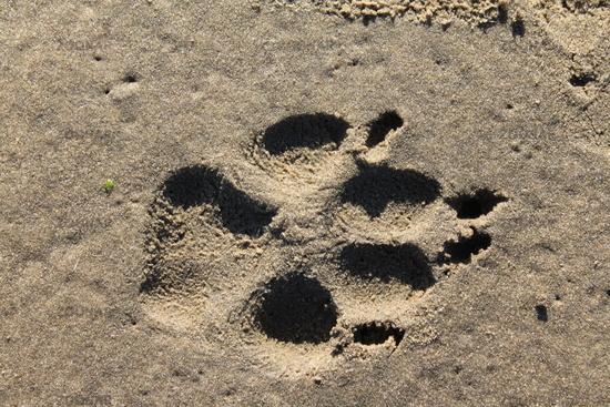 Abdruck einer Hundepfote im Sand