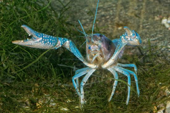 Blue crayfish on the bottom in aquarium