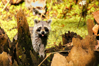 Raccoon in Corkscrew swamp, Florida
