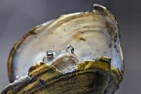 Erdkröte in Teichmuschel