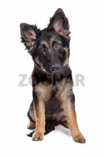Deutscher Schaeferhund, Welpe