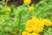 Marigold and bees of nature.