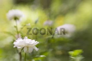 weisse Rose, white rose