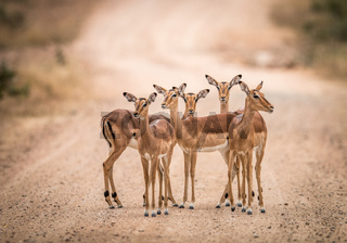 A starring group of female Impalas in the middle of the road.