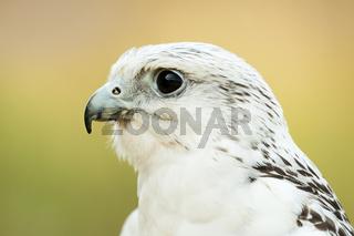 Saker Falcon II