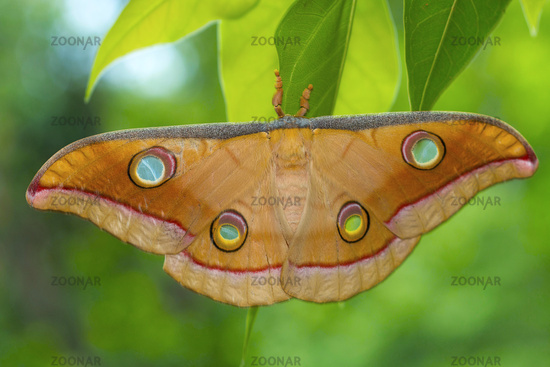 Tussar silk moth from Kanger Ghati National Park, Bastar District, Chhattisgarh