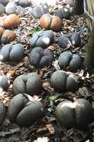 Berühmte Coco de Mer auf den Seychellen