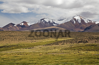 Berglandschaft mit Vikunjas (Vicugna vicugna) am Rundweg Conaf Station Las Cuevas, Lauca NP, Chile, Mountain landscape with Vicunas, Chile, South America