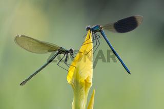Maennchen und Weibchen der Gebaenderten Prachtlibelle (Calopteryx splendens)