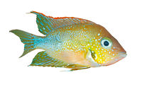 Mexican gold cichlid (Thorichthys aureus) - male, isolated