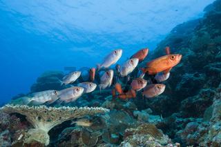 Rote Grossaugenbarsche, Priacanthus hamrur, Blue Corner, Mikronesien, Palau, Red Crescent-tail Bigeye