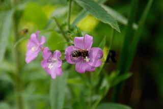 Weidenroeschen mit Biene
