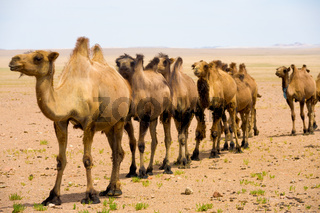 Single File Bactrian Two Hump Camels Gobi Desert