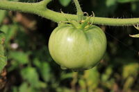Green tomatoes growing on branches in arden 20567