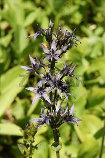 Swertia perennis, Sumpfenzian