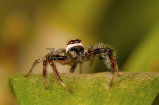 Male jumping spider Telamonia dimidiata, close-up