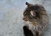 unruffled wild cat