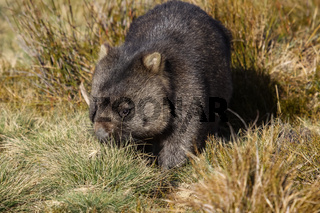 Close up of a Wombat roaming in the grass, Cradle Mountain NP, Tasmania