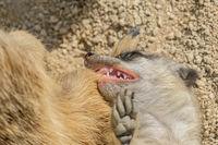 Erdmännchen Kind tut in Fell der Mutter beissen