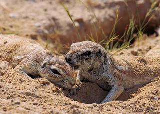 Borstenhörnchen, Erdhörnchen, Namibia, Xerus inauris, african ground squirrel, wildlife